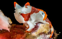 Clown Frogfish by Sascha Caballero