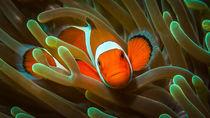 Clown Fish by Sascha Caballero