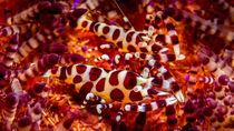 Colemann Shrimp by Sascha Caballero