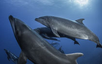 Shool of Dolphins by Sascha Caballero
