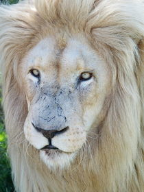 Weisses Löwen Männchen Portrait 33033 von thula-photography