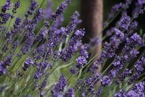 Lavendel an Rost von Petra Dreiling-Schewe