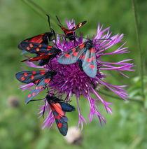 Schwarz-rote Schmetterlinge auf Alpenblume by Renate Dienersberger