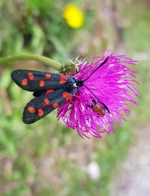 Sechsfleck-Widderchen (Schmetterling) by Renate Dienersberger