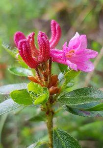 Gewimperte Alpenrose, Almrausch von Renate Dienersberger