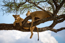 Tree climbing lions by Pieter Tel