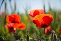 Poppy in the field von Pieter Tel
