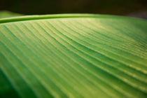 Banana Leaf by Pieter Tel