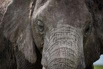 Portrait of an elephant von Pieter Tel