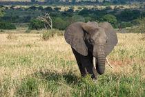 African elephant on the savannah von Pieter Tel