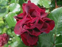 Red Rose for ever by bebra