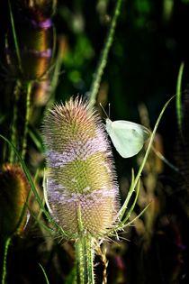 Kohlweißling Schmetterling auf lila Distelblüte von Claudia Evans
