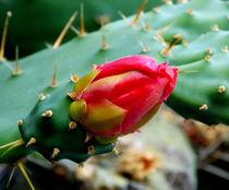 Cactus Flower by bebra