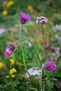 Alpenblumen... 4 von loewenherz-artwork