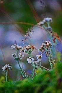 Alpenblumen... 2 von loewenherz-artwork