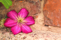 Clematis by mario-s