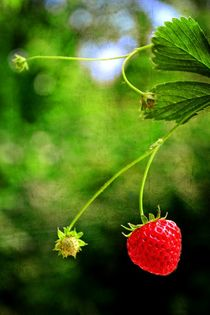Erdbeerzeit    -   Strawberry time by Claudia Evans