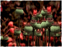 in the evening light - poppy capsules by Chris Berger