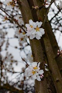 Mandelblüte von Uwe Ruhrmann