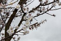 Mandelblüten von Uwe Ruhrmann