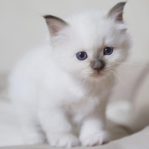 Dsc-0987-dot-birma-kitten2-07-18