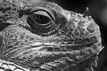 Iguana Lizard by Jim Corwin