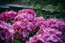 Hortensienbüsche von Petra Dreiling-Schewe