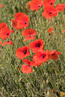 Poppies in a field  by David Bishop