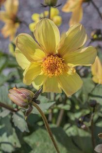 Yellow Dahlia by David Bishop