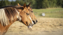 Horses von koroland
