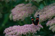 Großer Admiral (Schmetterling) auf rosa Busch