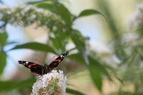 Großer Admiral (Schmetterling) auf weißer Blüte