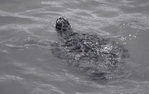 Sea Turtle von O.L.Sanders Photography