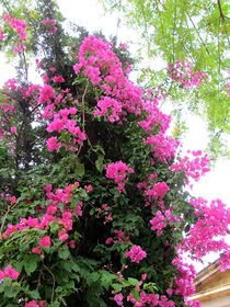 Pink flower trees in Nicosia, Cyprus by ambasador