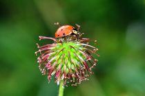Ladybird von Claudia Evans
