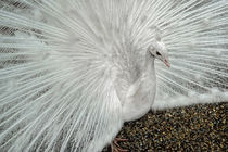 White Peacock by Colin Metcalf
