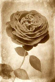 Sepia Rose by CHRISTINE LAKE