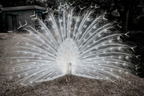 White Peacock von Colin Metcalf