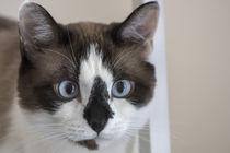 Curious Snowshoe Cat by Elisabeth  Lucas