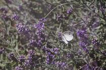 Lavendel an Schmetterling von Petra Dreiling-Schewe