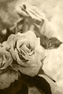 Rosen von carmenvaro-fotografie