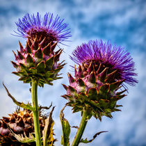 Cardoon by Colin Metcalf