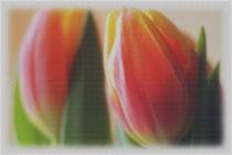 Tulpen von Sonja Speier