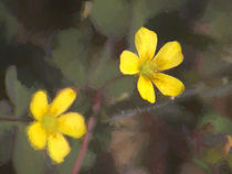 Creeping Woodsorrel von Colin Metcalf