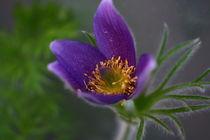 Pulsatilla vulgaris / Kuhschelle in blau/lila von Simone Marsig