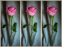 Dewed Rose Triptych by Colin Metcalf