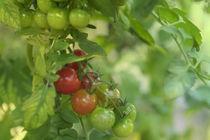 Tomaten von Heidi Bollich