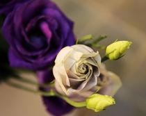 Rosen by carmenvaro-fotografie