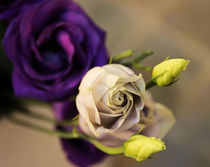 Rosen von Carmen Varo