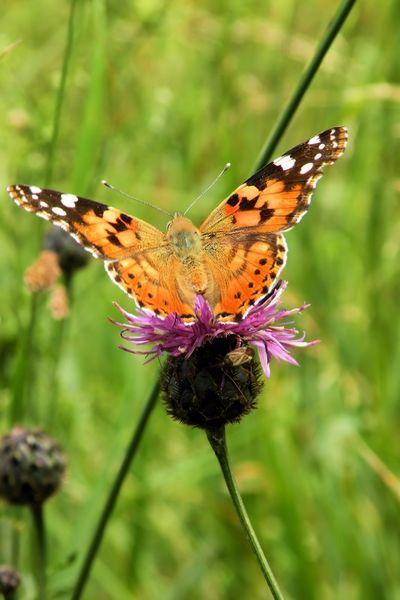 Schmetterling-distelfalter-vanessa-cardui-799-g3